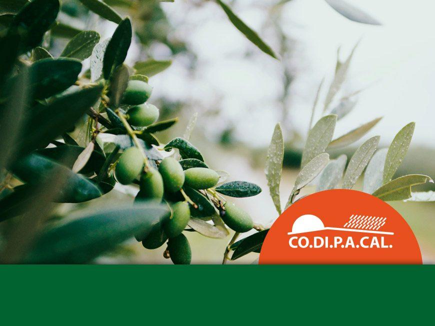 Campagna olive